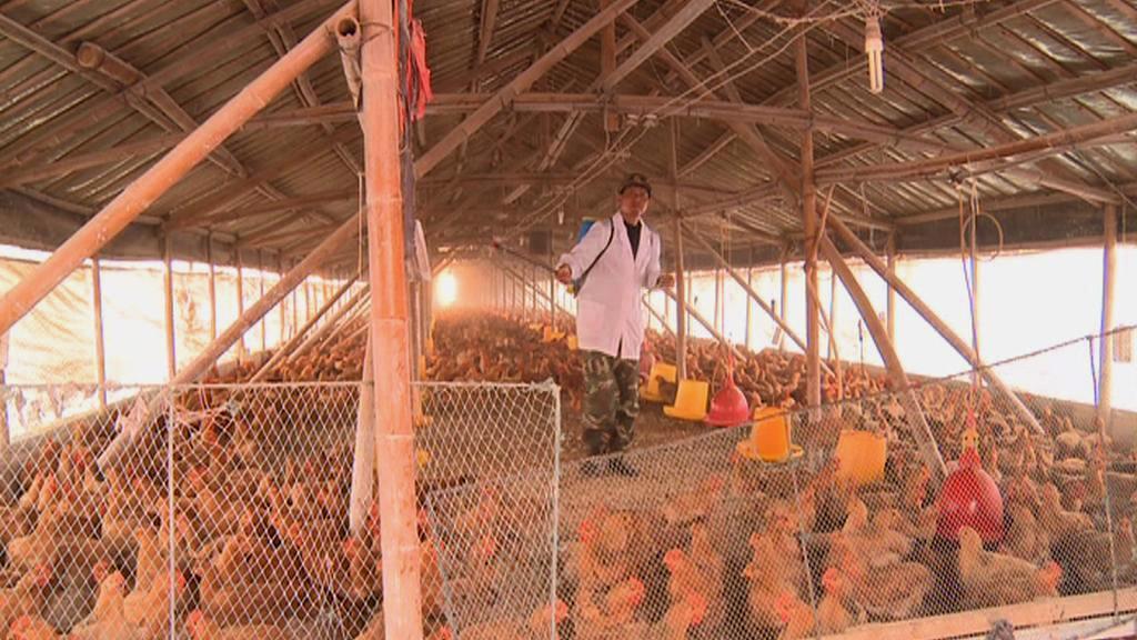 Strach z kuřecího masa zasáhl čínský drůbežářský průmysl
