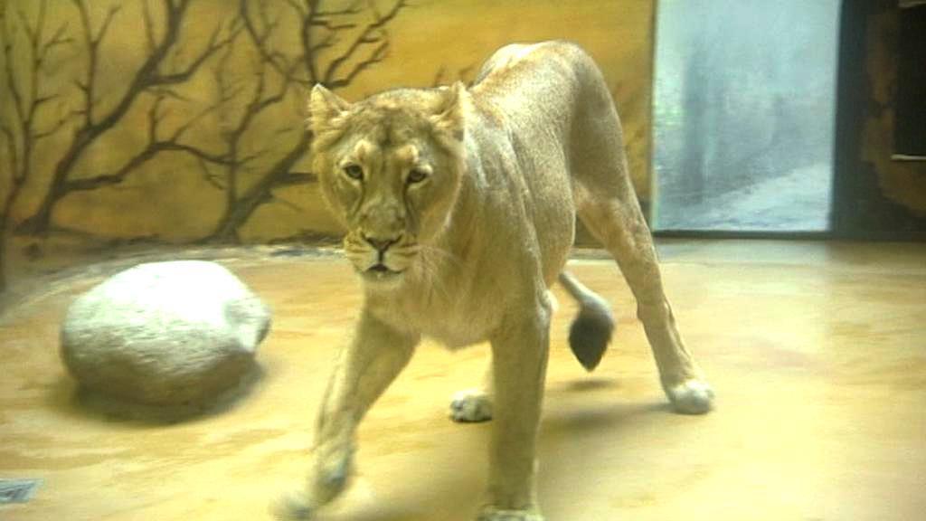 Lvice z královédvorské zoo