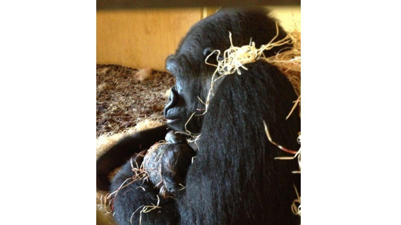 Gorila Moja s mládětem