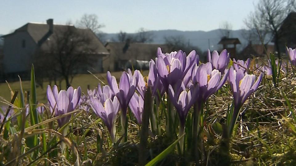 Šafrány v Lačnově tradičně oznamují příchod jara