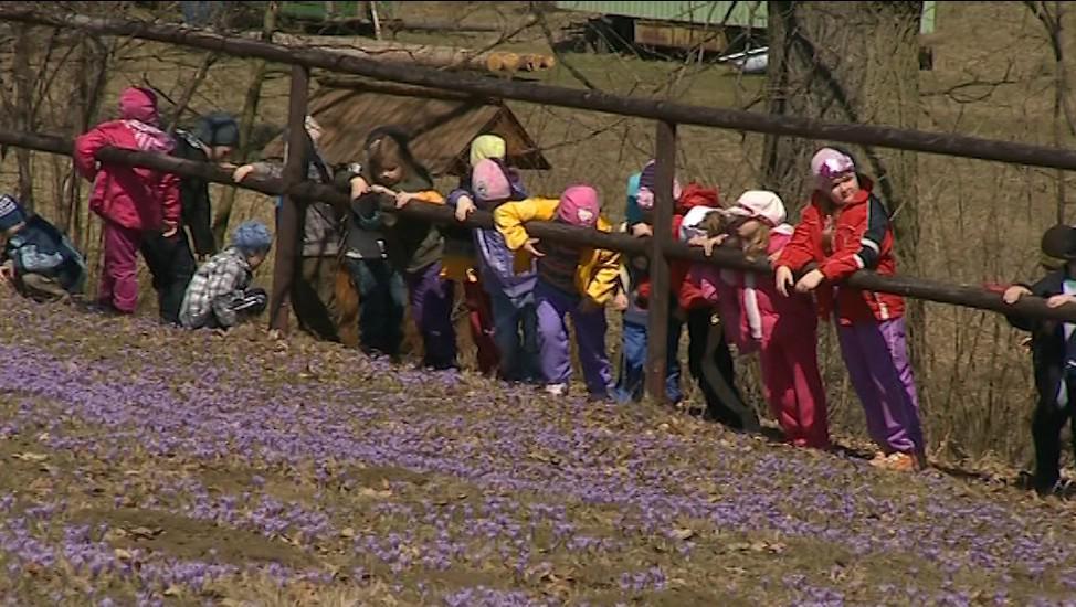 Rozkvetlé šafrány chodí obdivovat i místní děti