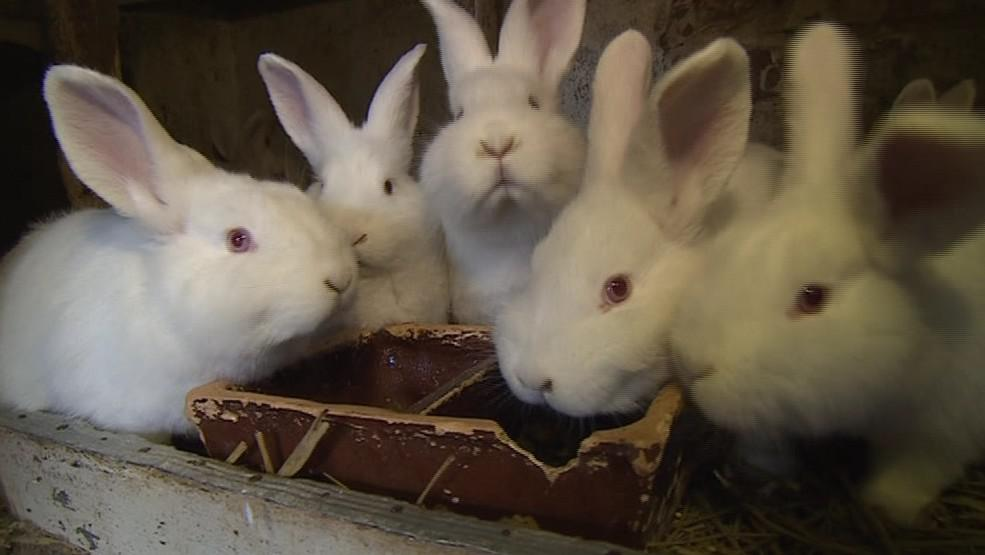 Češi opět staví králíkárny a vrací se k chovu králíků