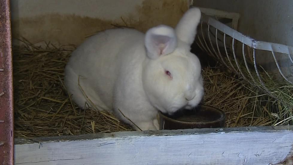 Podle chovatelů vzrostl zájem o králíky o třetinu