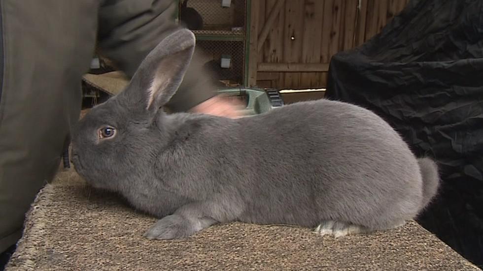 Nejkrásnější králík Evropy pochází z jižní Moravy
