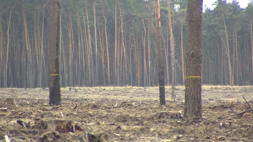 Les na Moravské Sahaře v Bzenci