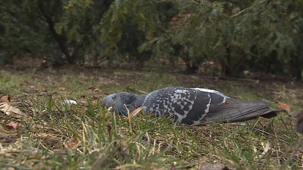 Odlov holubů