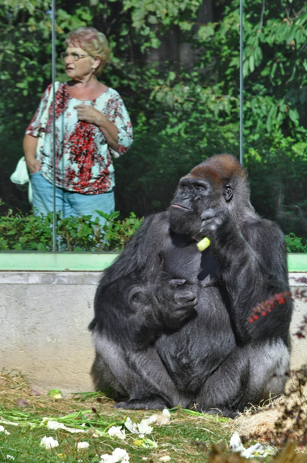Gorilí samec