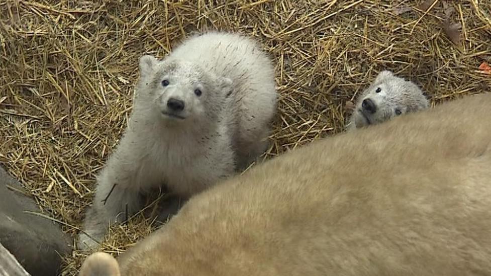 Mláďata medvědice Cory