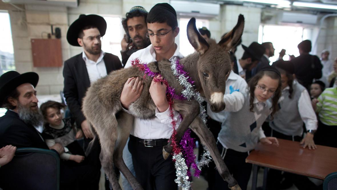 Tradice ultraortodoxních židů - vykoupení osla
