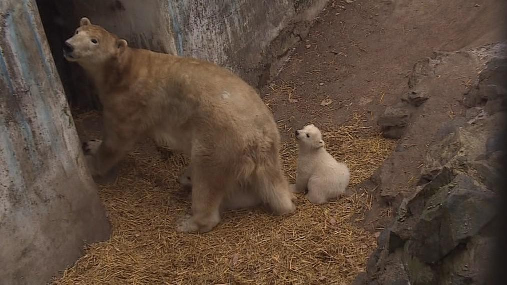 Medvíďata zůstanou v brněnské zoo maximálně dva roky