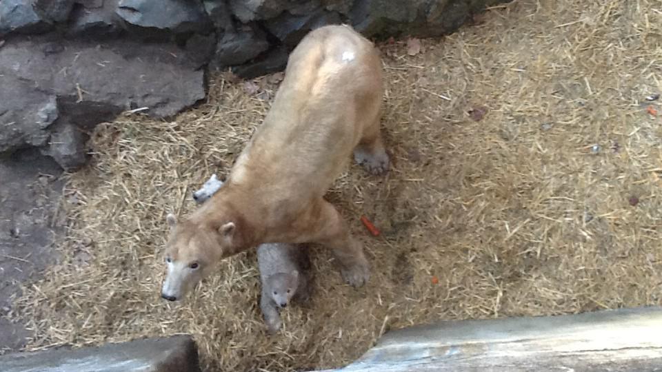 Obě medvíďata se držela maminky na každém kroku