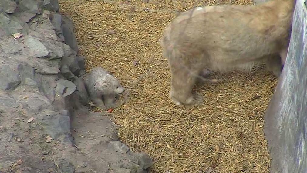 Brněnská mláďata medvěda ledního