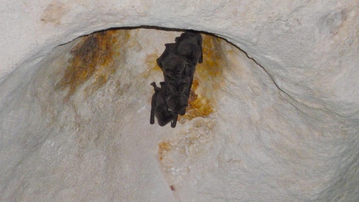 Netopýři v jeskyni Ambrosio