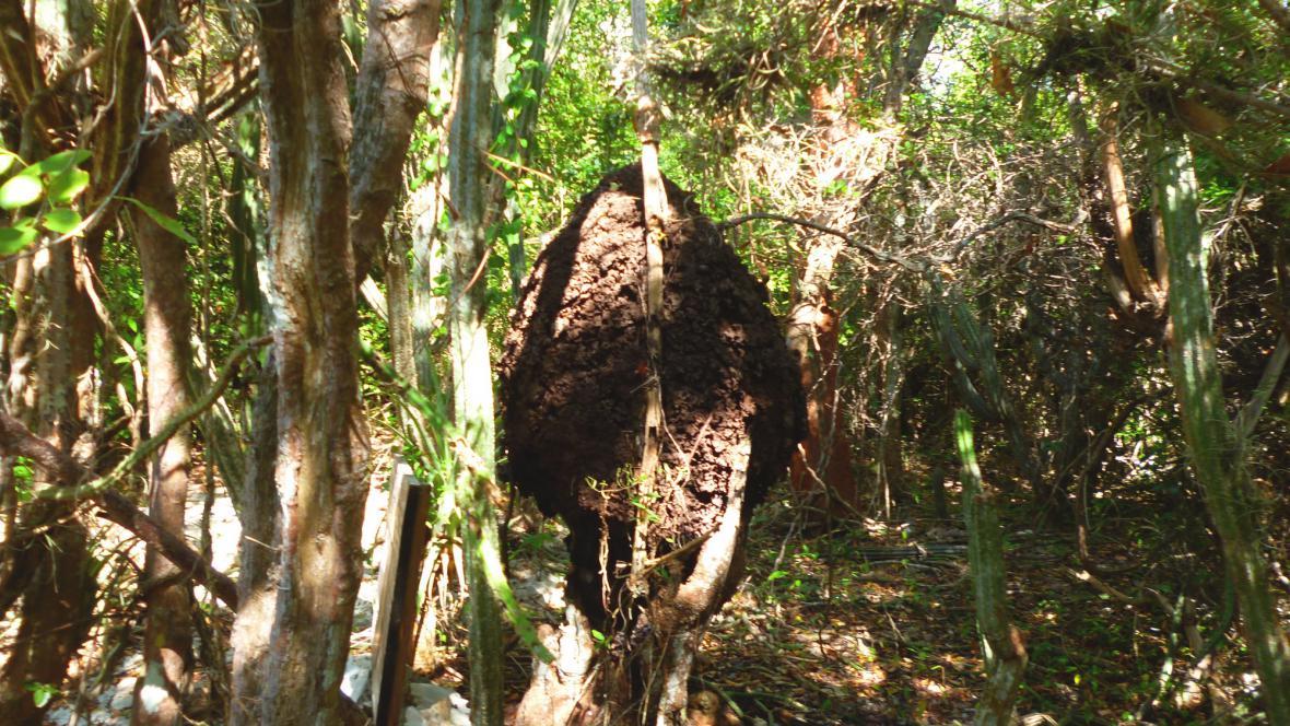 Termitiště ve větvích