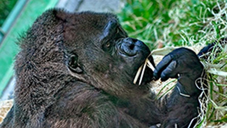 Gorila Judita