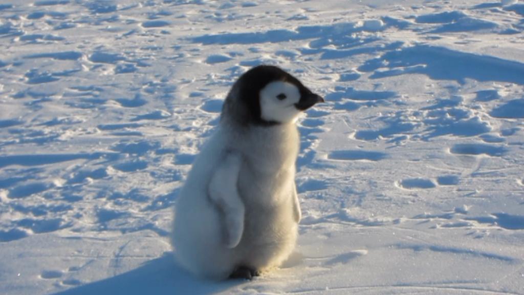 Mládě tučňáka