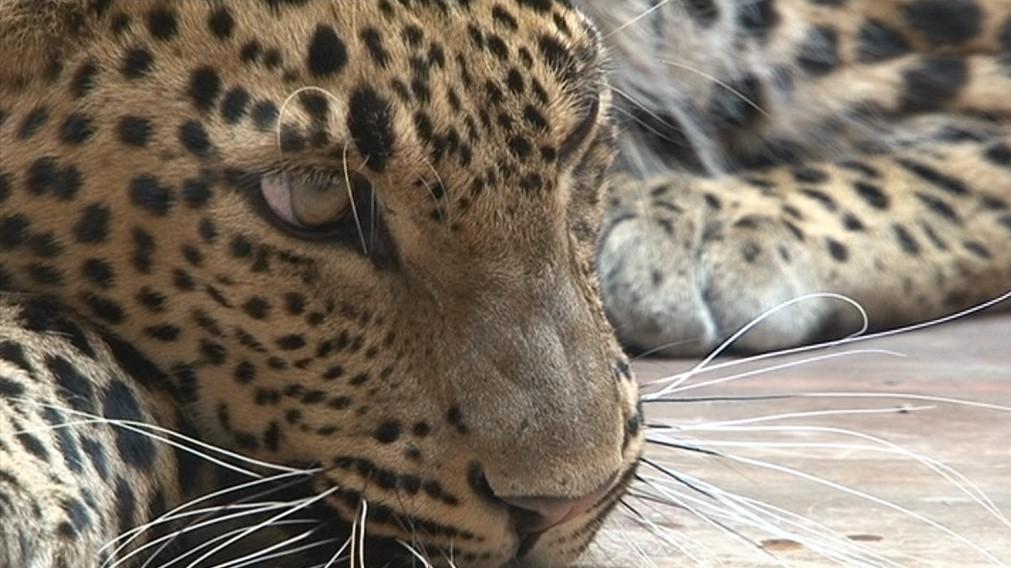 Brněnská zoo má v chovu levhartů letitou tradici