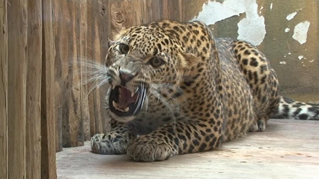 Levhart cejlonský patří mezi ohrožené druhy