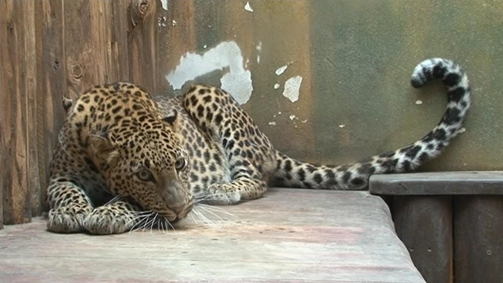 Tento druh levharta pochází z ostrova Srí Lanka
