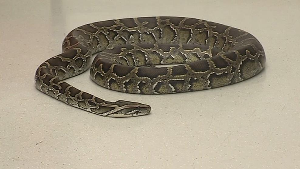 Pašování hadů