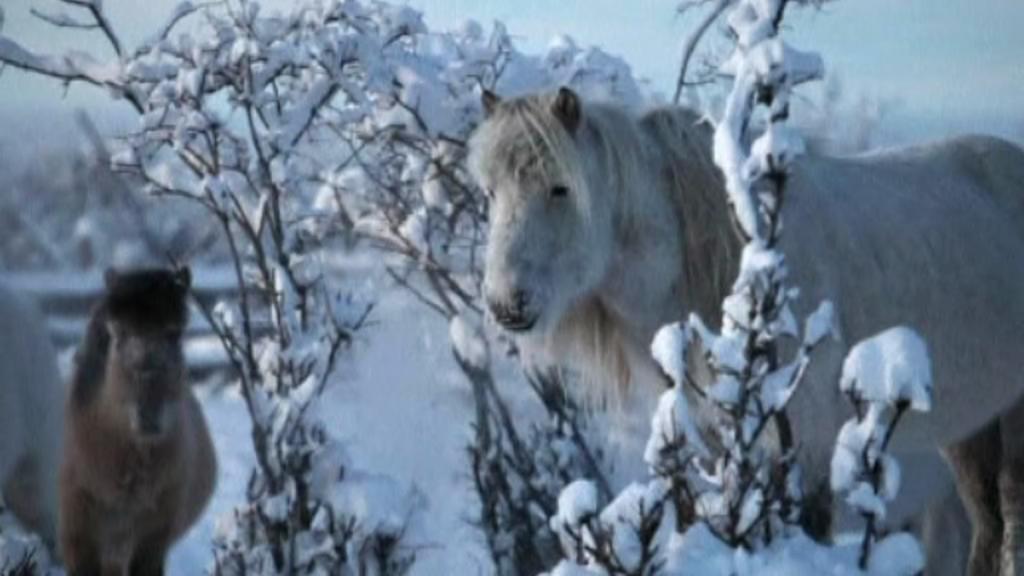 Jakutský kůň