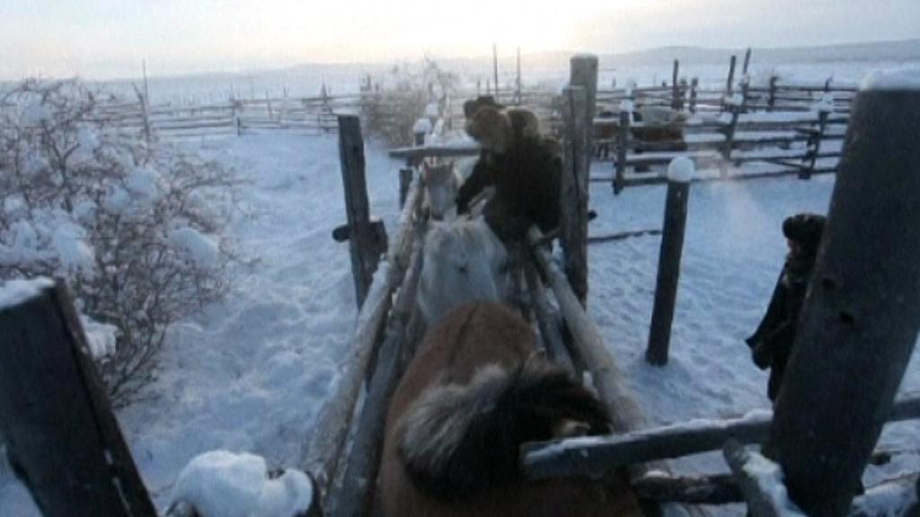 Jakutští koně