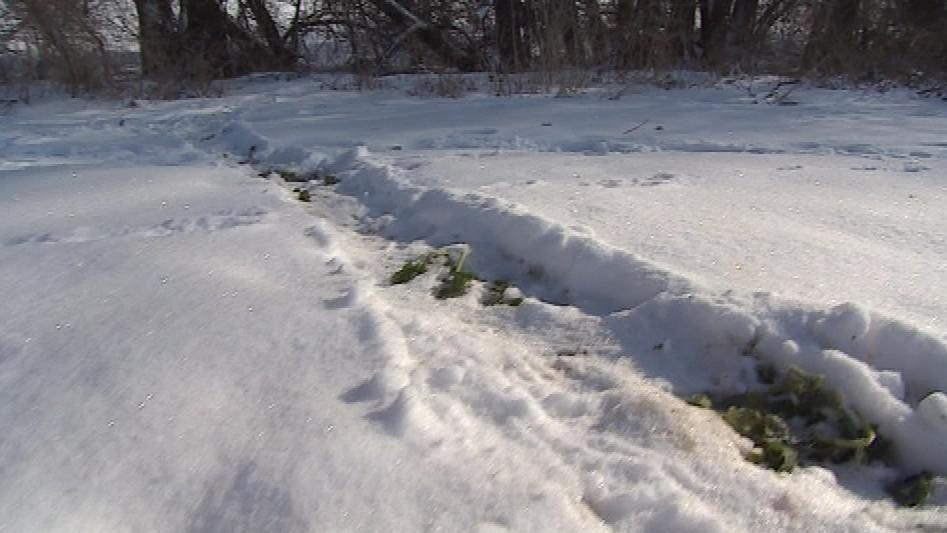 Bobři po sobě zanechávají ve sněhu stopy