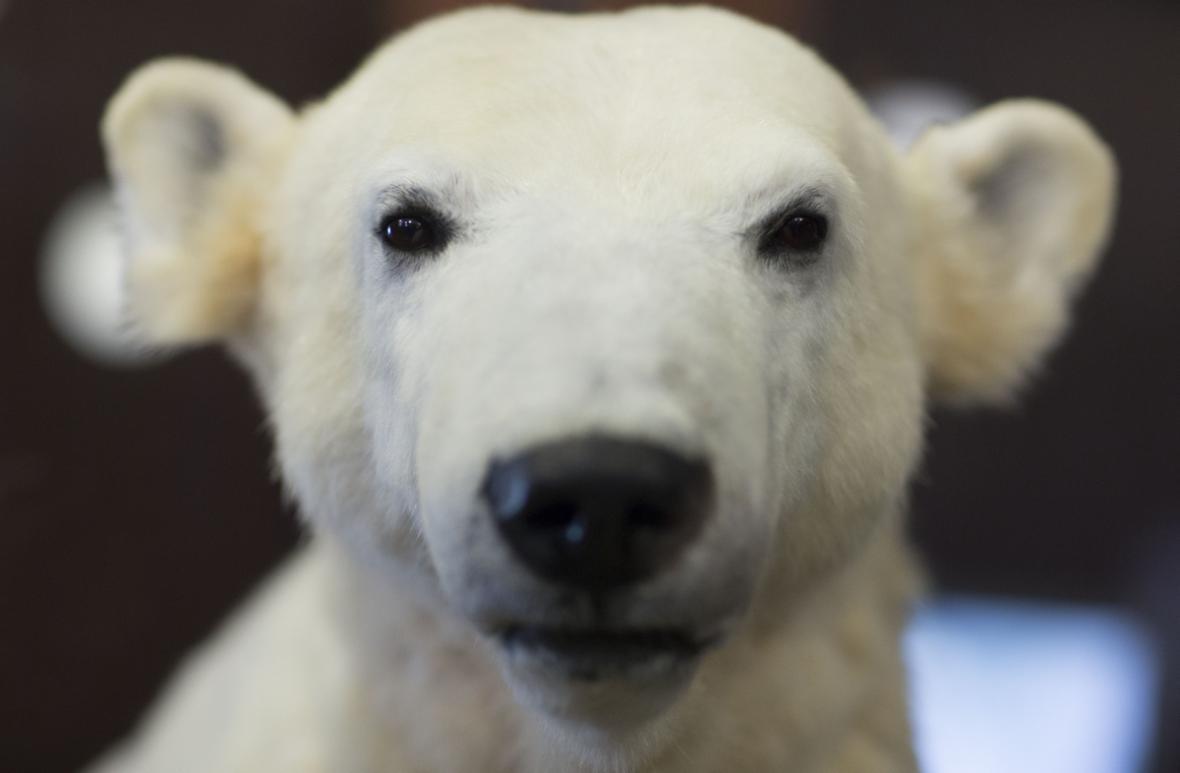 Vycpaný Knut