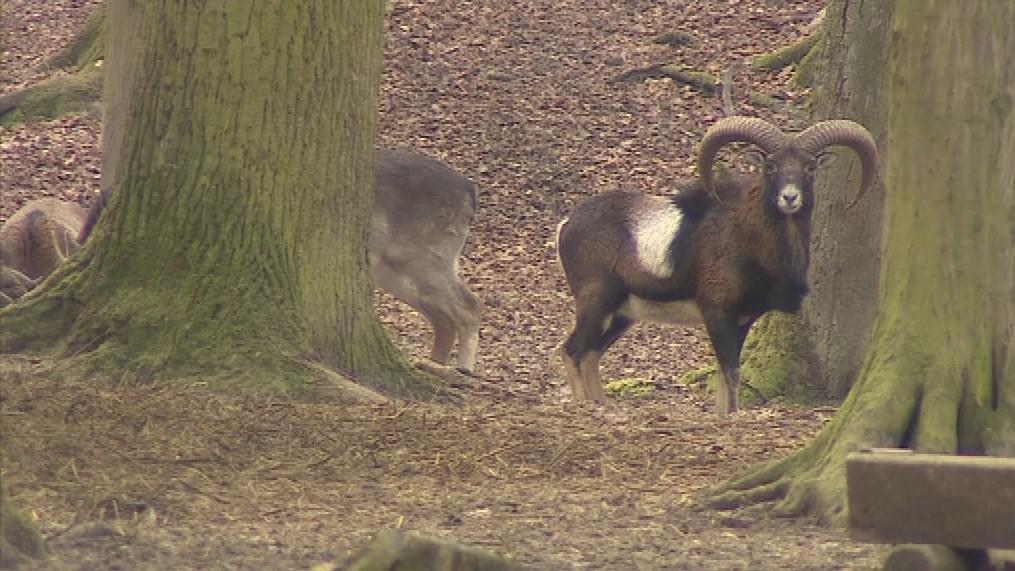 Obora Holedná slouží k chovu mufloní a dančí zvěře