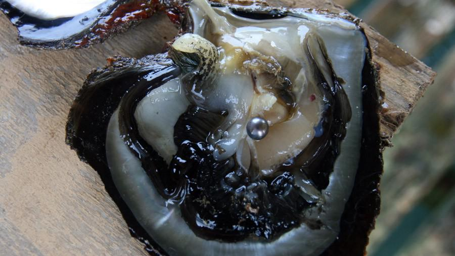 Černá perla