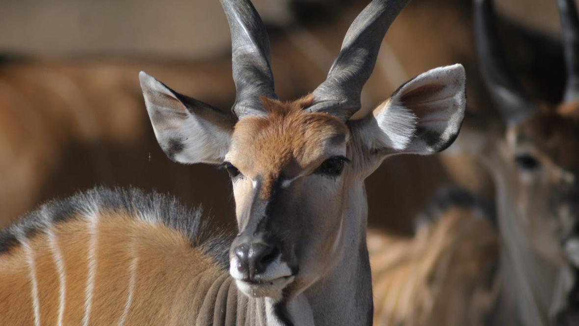 Derbyho antilopa