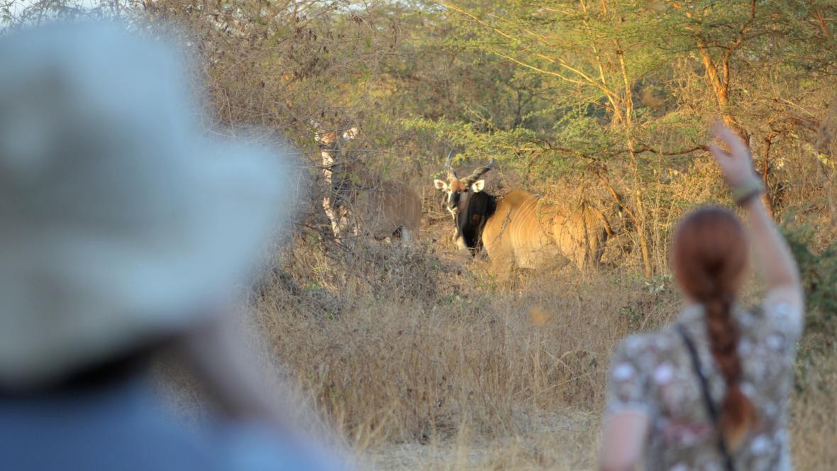Populace kriticky ohrožených antilop Derbyho se v senegalských rezervacích za uplynulý rok rozrostly o 16 mláďat
