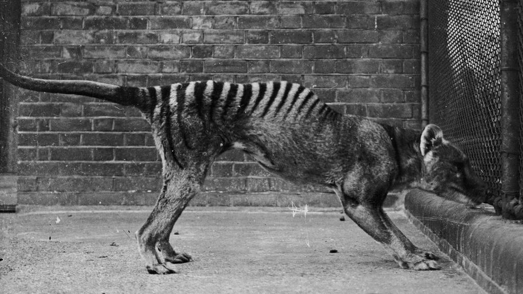 Tasmánský vakovlk