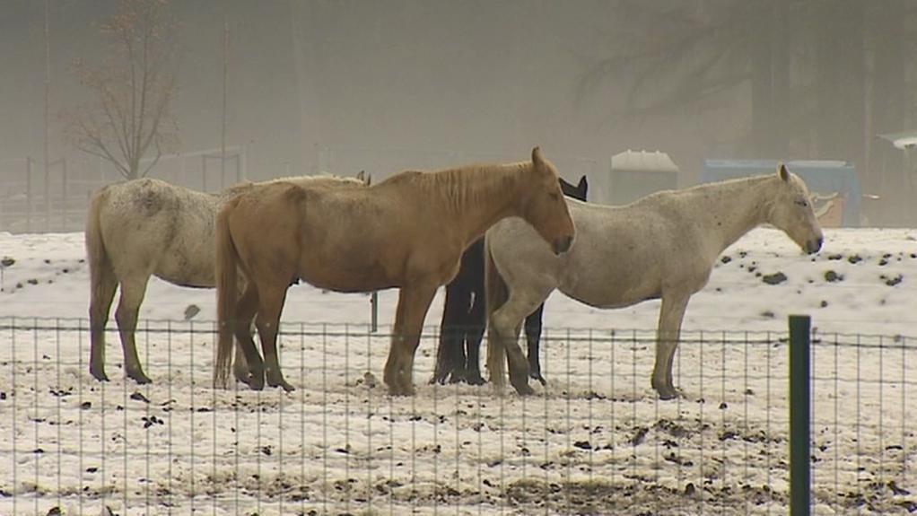 Koně v táborské zoo