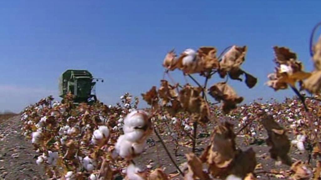 Sklizeň bavlny