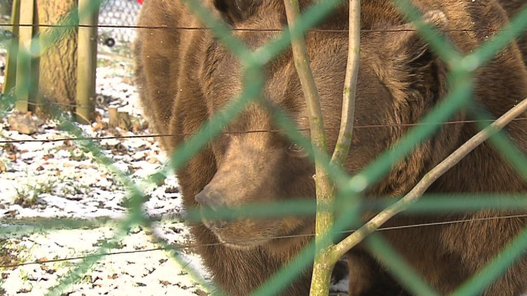 Berounský medvěd