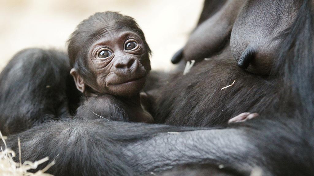 Mládě gorily nížinné