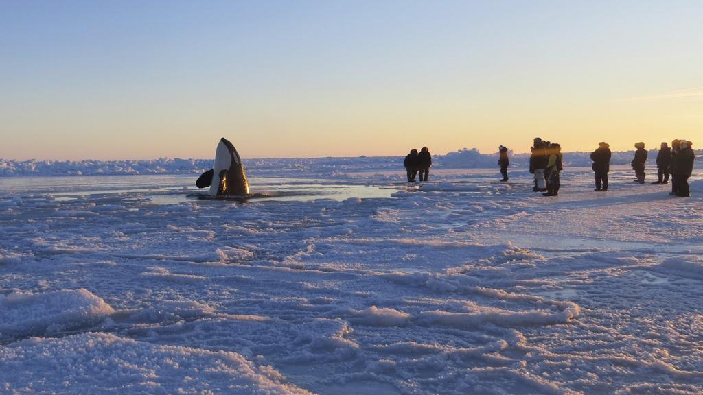 Jedna z kosatek uvízlých u kanadského pobřeží