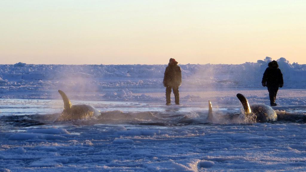 Kosatky uvízlé u kanadského pobřeží