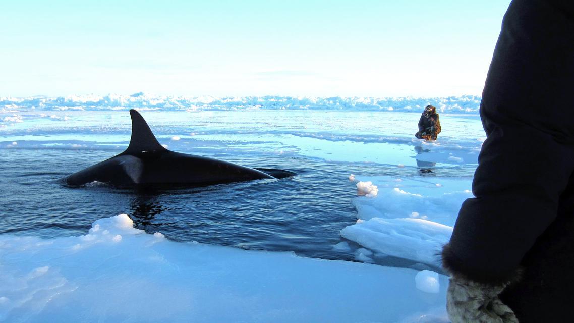 Pod ledem v Kanadě uvízlo několik kosatek