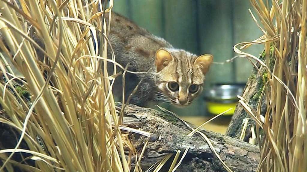 Kočka cejlonská