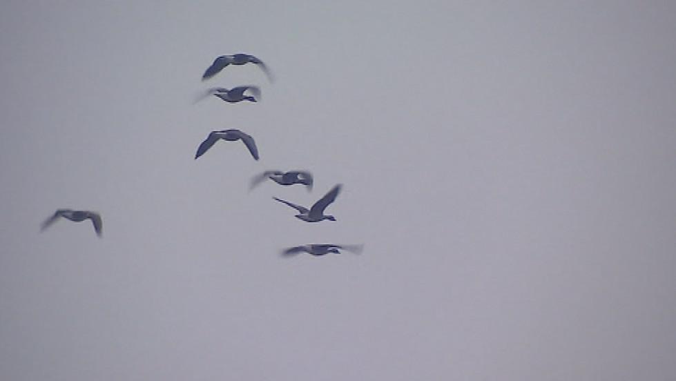 Severské husy zimují na Nových Mlýnech každý rok