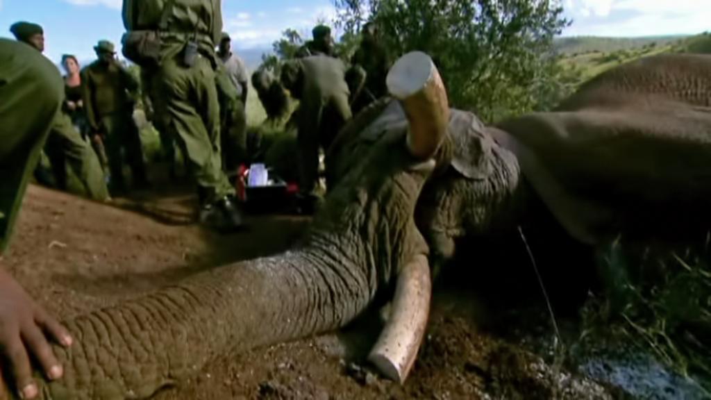 Pytláci zabijí kvůli klům stovky slonů