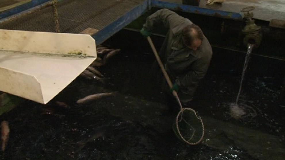 Rybníkářství Pohořelice prodává kapry po Vánocích do zahraničí
