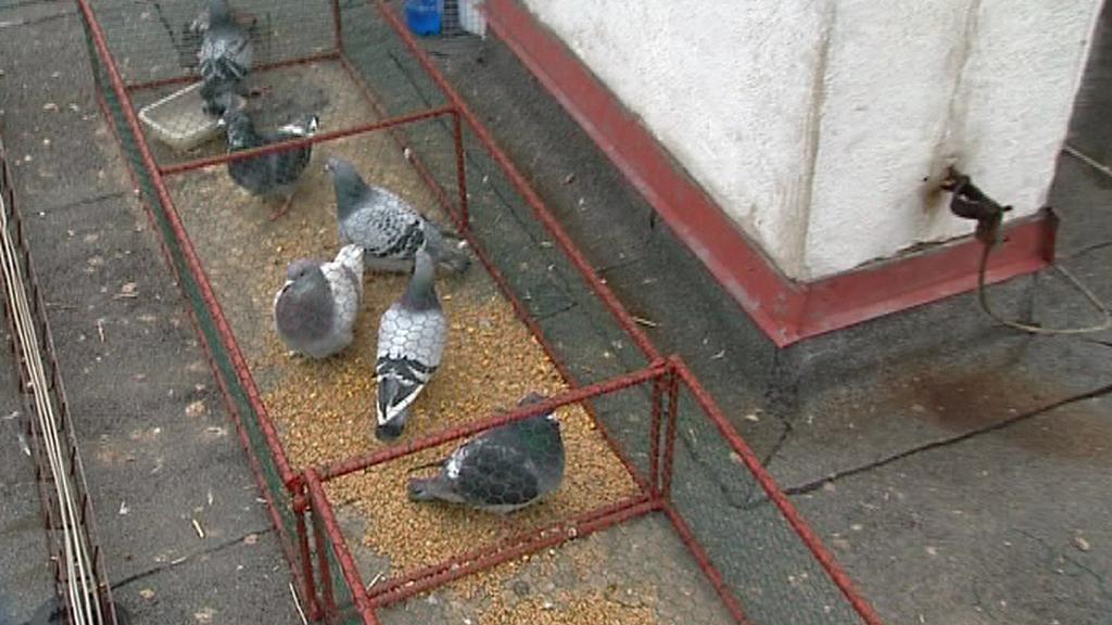 Odchyt holubů