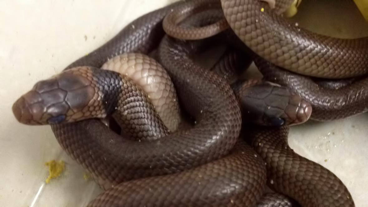 Z nalezených vajec se vylíhlo klubko hadů