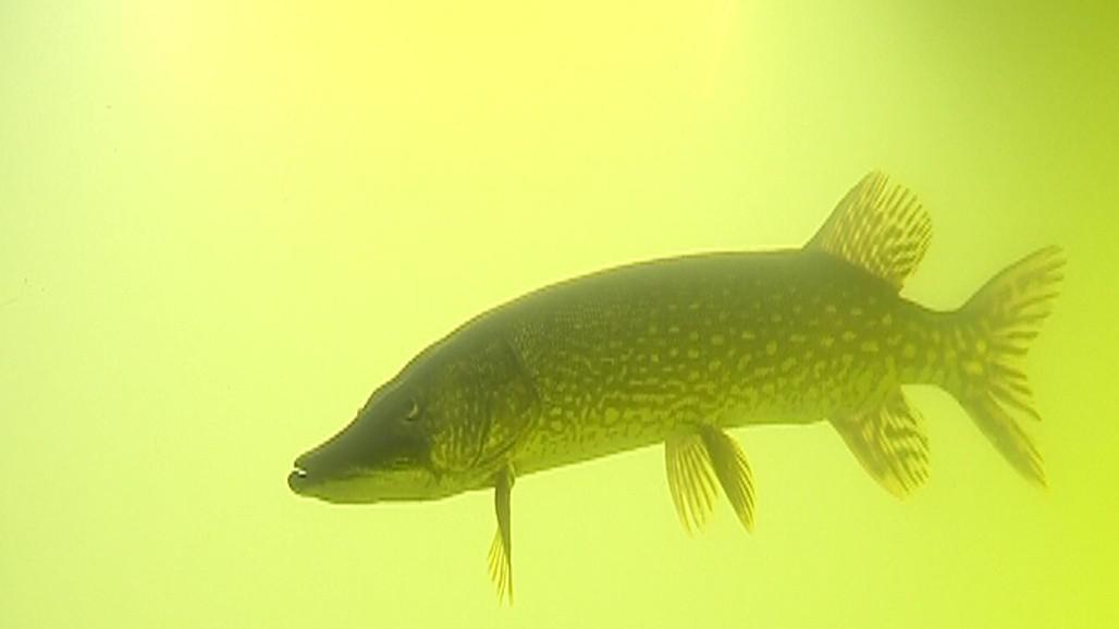 Lidé si budou moct podrobně prohlédnout různé sladkovodní ryby