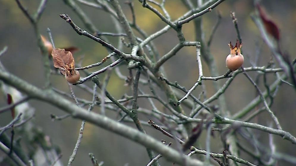 Plody mišpule musí přejít mrazem