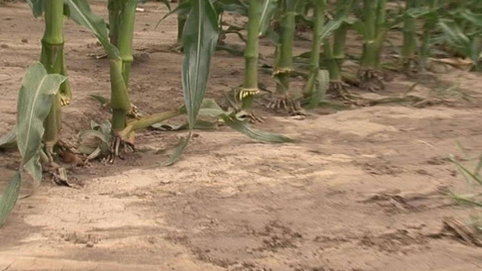 Problematická plodina je zejména kukuřice