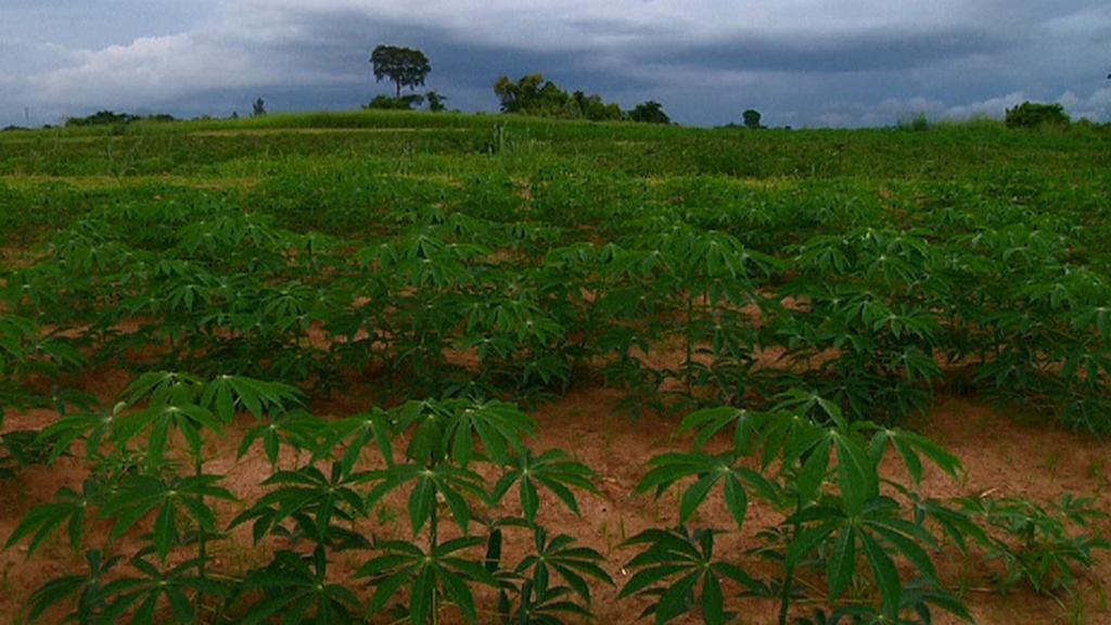 Maniokové pole